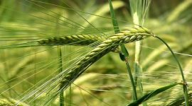 Эффективные агроприемы возделывания тритикале