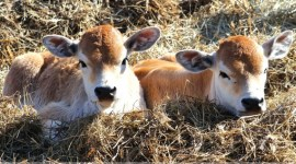 В ожидании новой стратегии животноводства