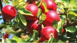 Альтернариоз яблони