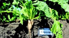 Продуктивность сахарной свеклы при использовании баковых смесей гербицидов в борьбе с сорняками