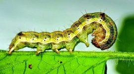 Хлопковая совка – опасный вредитель сельскохозяйственных культур