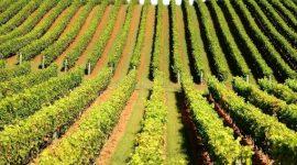Tehnologii noi vitivinicole bazate pe implementarea soiurilor autohtone și din selecţia nouă