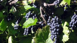 Урожай винограда в 2017 ожидается на 10-15% выше, чем в предыдущем году