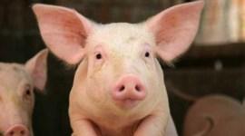 Россия запретила импорт американских и европейских свиней