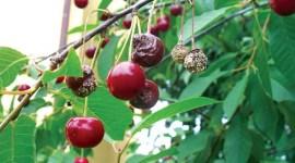 Монилиозы плодовых культур