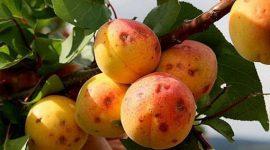 Цитоспорозное усыхание абрикоса