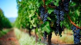 Новый вызов для садов и виноградников Молдовы — Drosophila suzukii