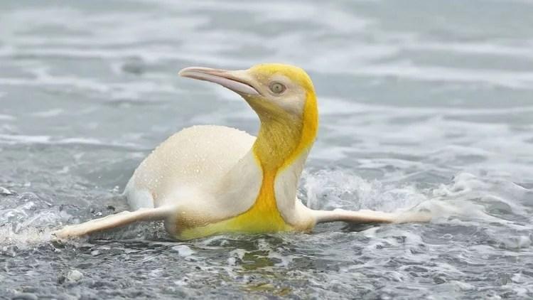Raríssimo, pinguim-rei amarelo é fotografado em ilha do Atlântico Sul