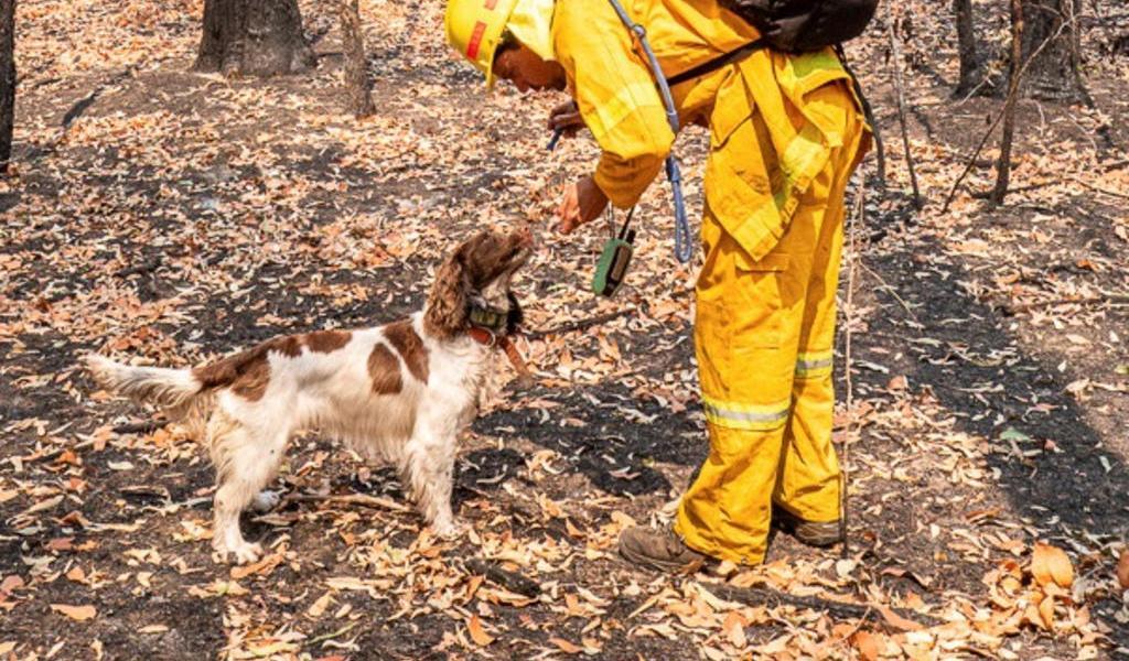Taylor, la perrita que ayuda a rescatar koalas de los incendios en Australia