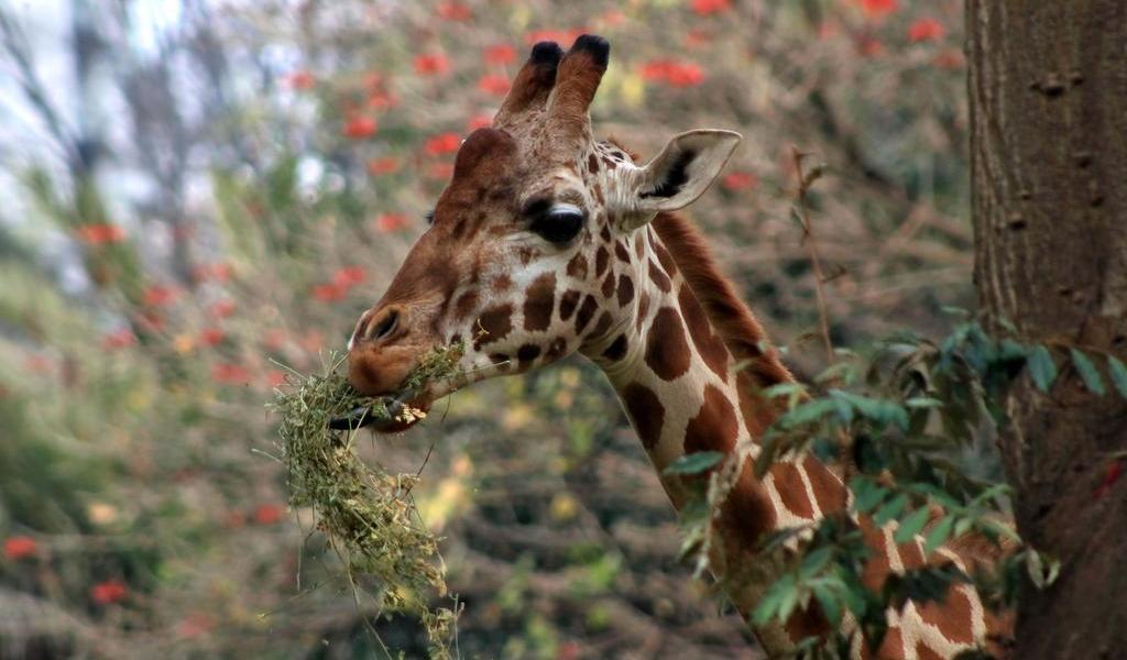 Encuentran muerta a jirafa que escapó de un camión en Tailandia