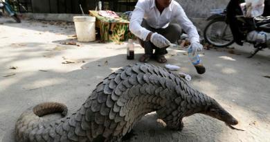 En dos décadas, al menos 900 mil pangolínes han sido traficados en el mundo