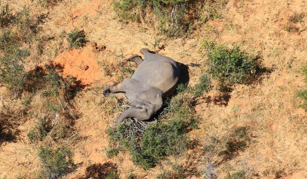 Mueren 22 elefantes de infección en Zimbabue; prevén más