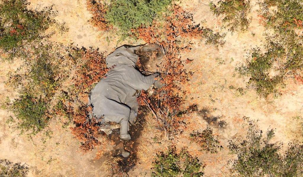 Bacteria causó muerte de cientos de elefantes en Botsuana