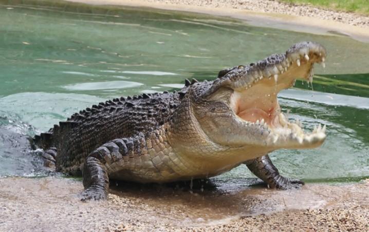 VIDEO: Enorme cocodrilo es captado intentando entrar a una casa en Cancún