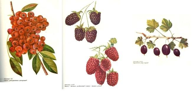 Мичуринские сорта ягод