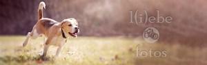 Milow Hund Beagle Wiese
