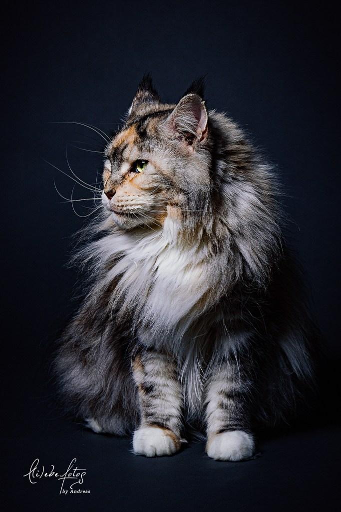 Maine Coon Katze Yogi im Studio