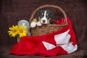 Welpen schweizer Sennenhunde