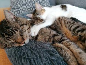 Zwei Katzen kuscheln zusammen.