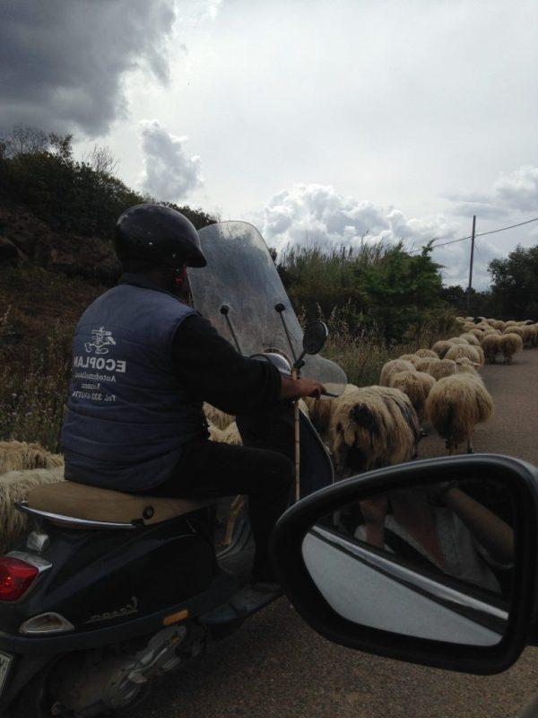 Sardinian shepherd