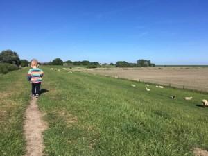 Dike and sheep