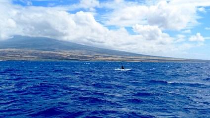 Whale Watching Kona Big Island