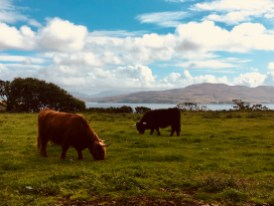 Cows on Isle of Mull
