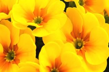 350 花 黄色