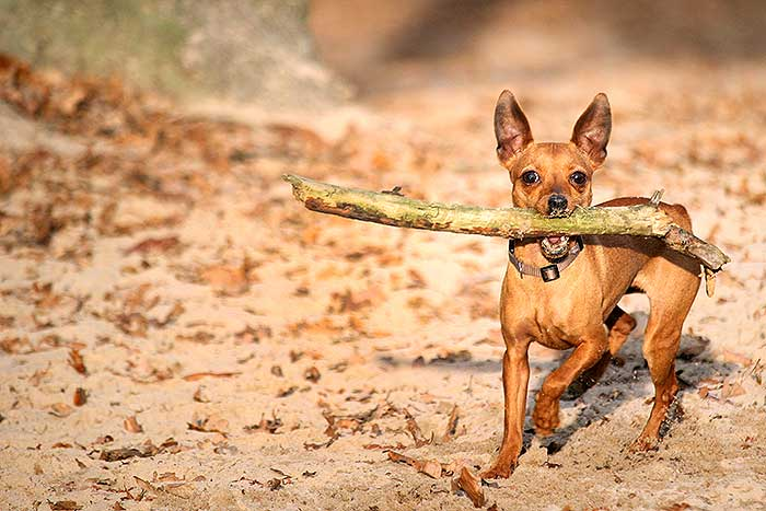Dwerg pincher op het honden losloopgebied op de zandverstuiving bij Kaatsheuvel