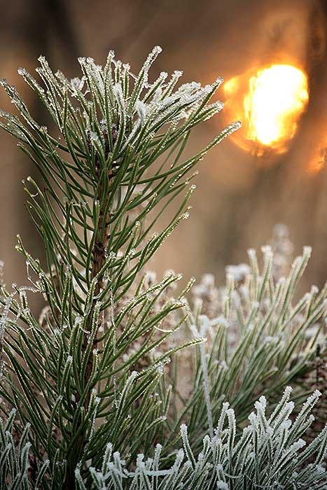 IJzel op een kleine dennenboom met ondergaande zon op de achtergrond.