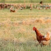 Een wandelen kip op een scharrel kippen boerderij