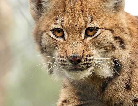 Jongen lynx