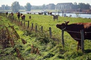 Fotoserie: Koeien bij Cuijk