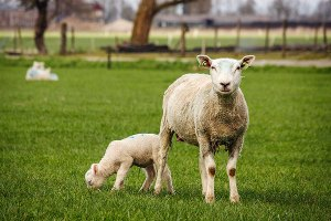 Moeder met lam