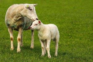 Fotoserie: Ontmantelde schapen en vlekvrije lammetjes