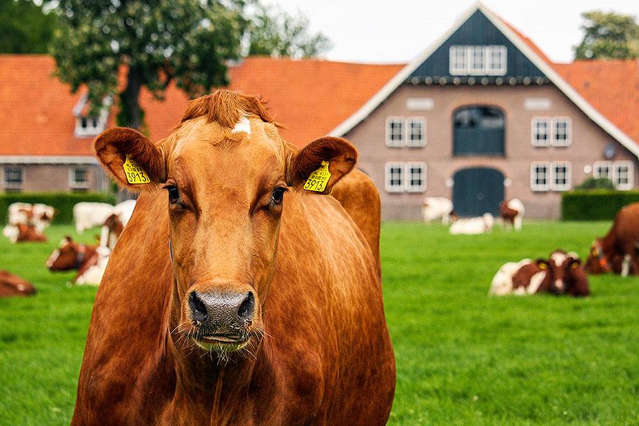 Fotoserie: Koeien bij een ontginningsboerderij
