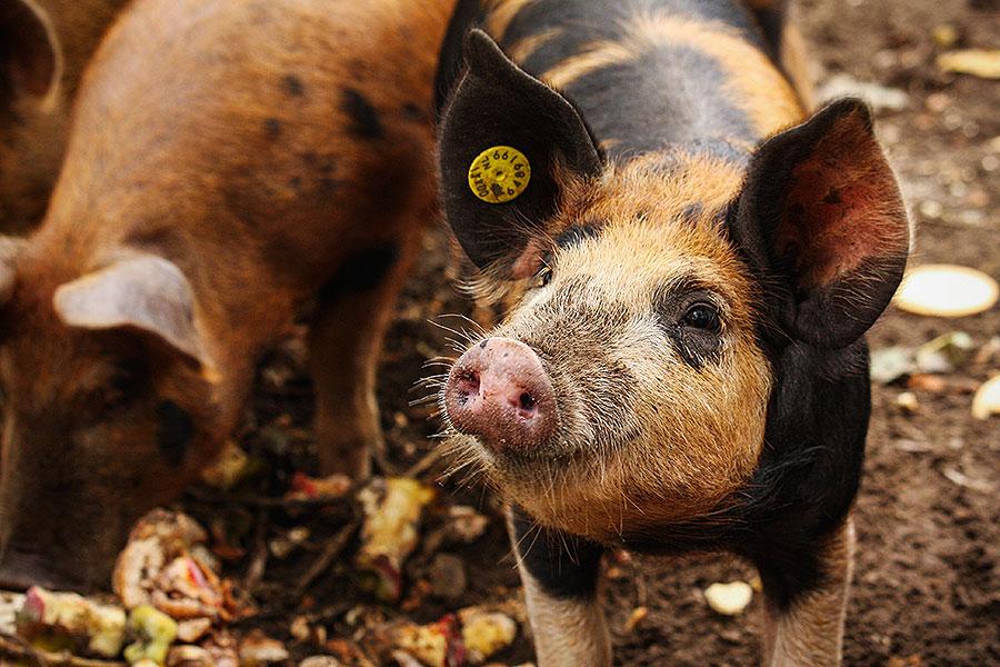 Fotoserie: Nieuwe vrije uitloop varkens