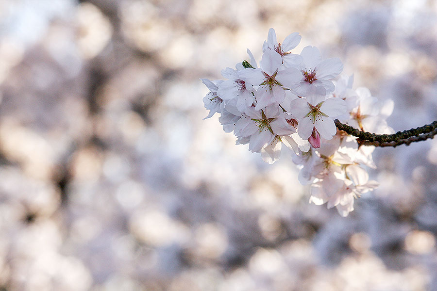 Fotoserie: De verdwijnende bloesem
