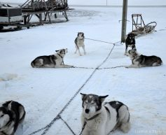 The dogs: excited to set off