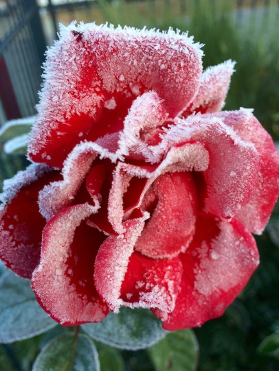Frost-Rose