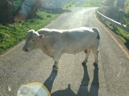 The cow blocked our way to Hermon
