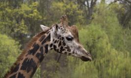 Įdomybės apie Lietuvos zoologijos sodo žirafas