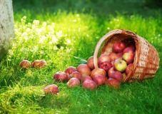 Anykščiuose kurs įspūdingą obuolių pyragų dėlionę