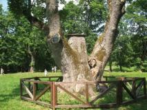 Lietuvos metų medį rinksime iš 12 atrinktųjų