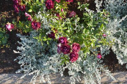 Rožė 'Burgundy Iceberg' ir Artemisia stelleriana 'Mori'