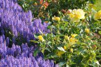 Rožė 'Friesia' su Salvia nemorosa 'Blauhugel'