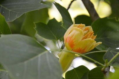 Tulpmedis 1