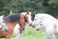 Draugiškas arkliukų bendravimas