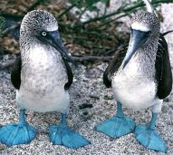 two-blue-footed-boobies