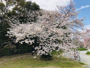 日本での初めてのお花見(日本生活サイト1日目)